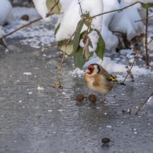 Puttertje op het ijs